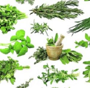 Пряно-ароматические и лекарственные травы/ Пряно-ароматичні та лікарські трави